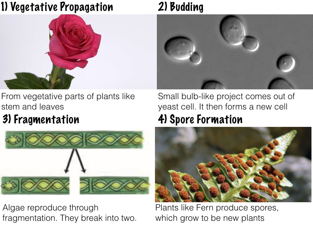 Fragmentation asexual reproduction process
